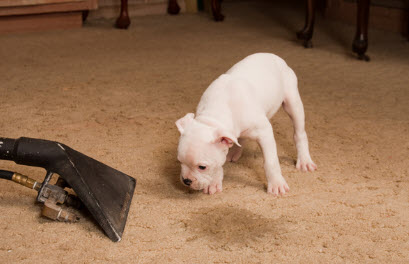 Pet odor and stain removal treatment of your carpets, rugs, and upholstery by Condor Carpet Cleaners
